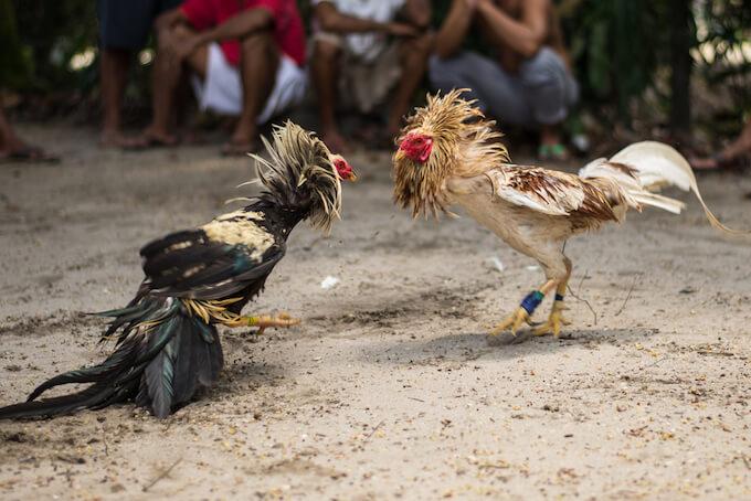 菲律宾游学 斗鸡表演