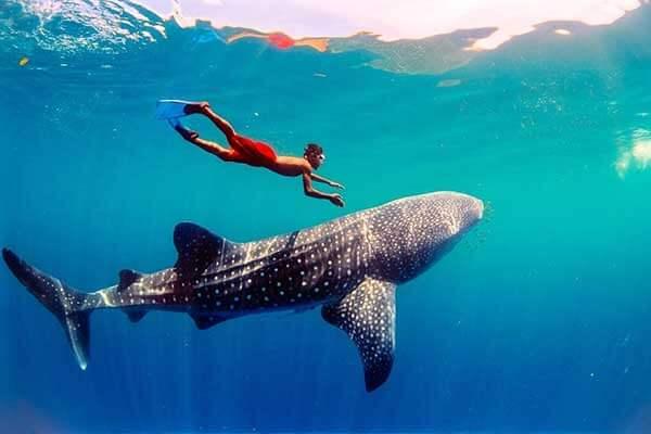 奥斯洛布鲸鲨观赏